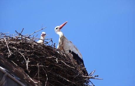 Störche in einem Nest